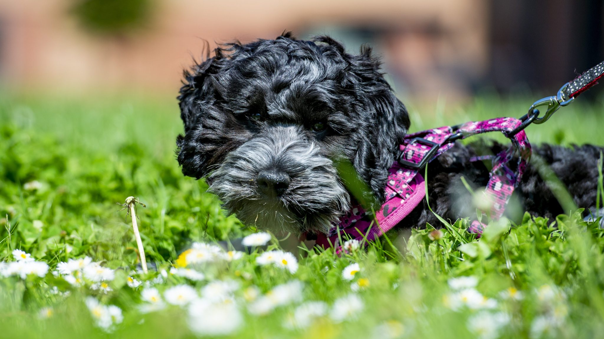 Mylie our therapy dog in the grass